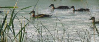 Охота на утку в Астрахани